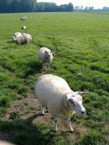 CRC schapen in de wei