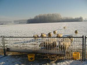 CRC schapen in de winter (1)